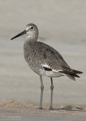 Willet 718 by caybeach