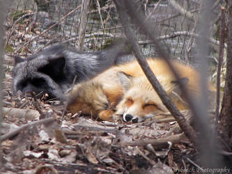 Sleeping Red Foxes by caybeach