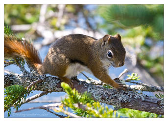 Red Squirrel by hiding-under-water