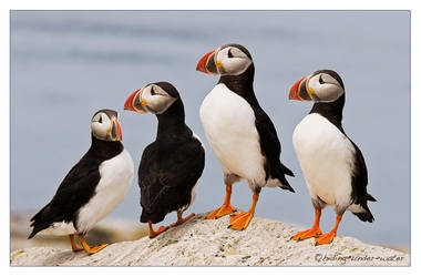 Puffins on Seal Island by hiding-under-water