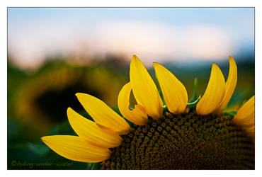 Sunflowers by hiding-under-water