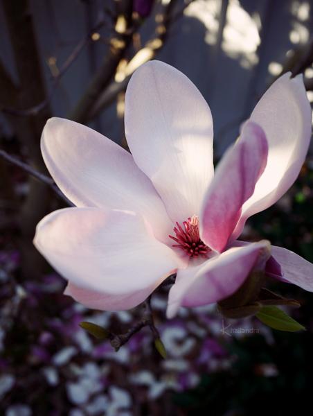 Magnolia by Khallandra