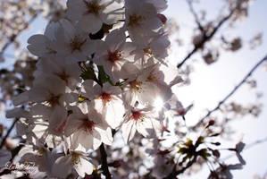 Sakura - Japan by LunaFeles