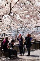 like snow - sakura