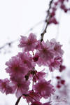 Sakura 02