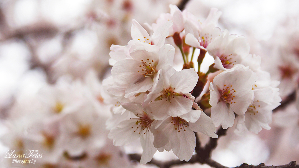 Sakura 04 by LunaFeles