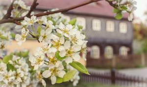 blossom in Obercunnersdorf