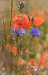 cornflower and poppies.