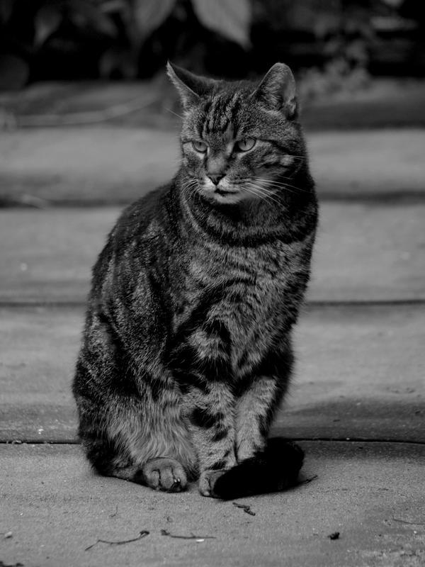 Wild cat. by HeretyczkaA