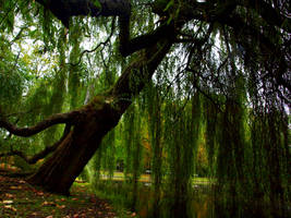 old weeping willow by HeretyczkaA