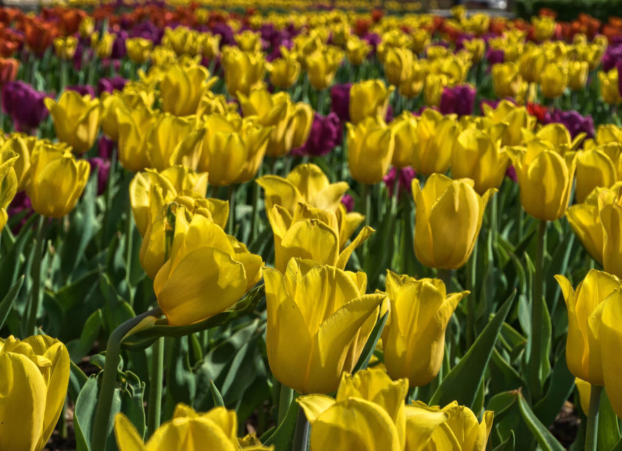 tulips by HeretyczkaA