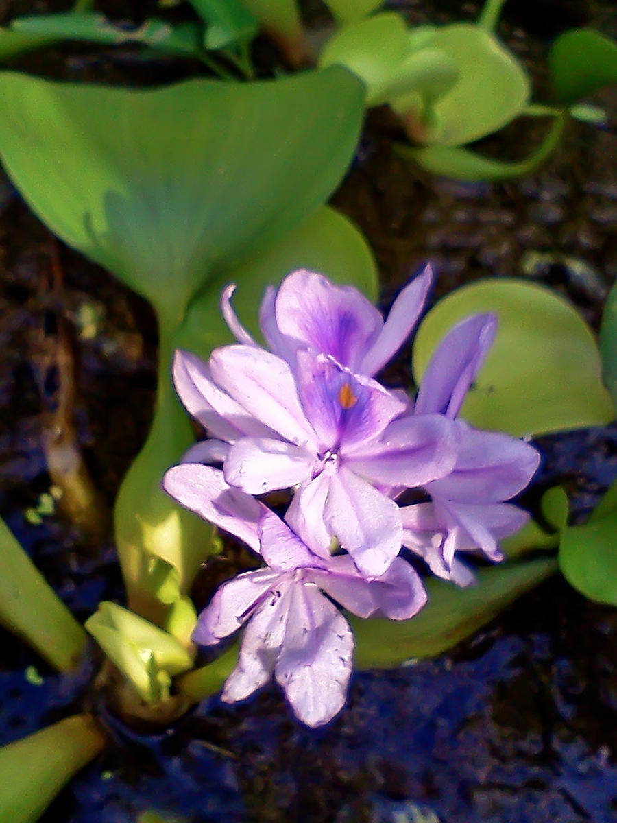 76+ Gambar Bunga Bakau Paling Bagus