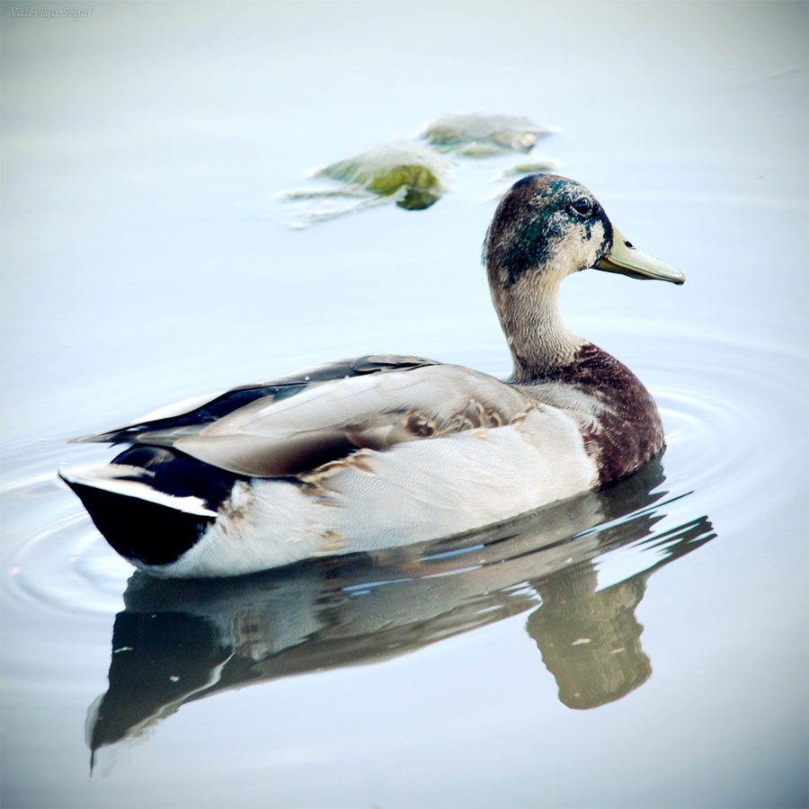 Duck by ValeriyaSegal