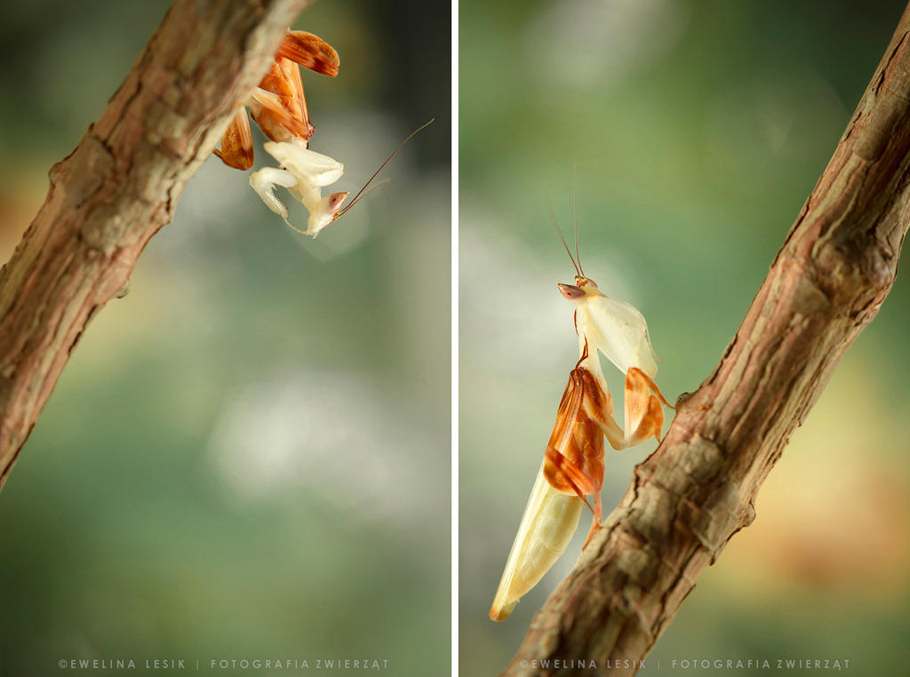 Orchid mantis by FerBarchetta