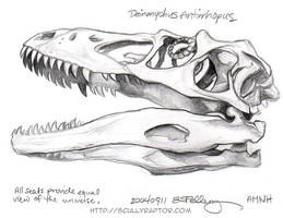 AMNH Study: Deinonychus skull by ScullyRaptor