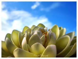 Lotus by Saswat777