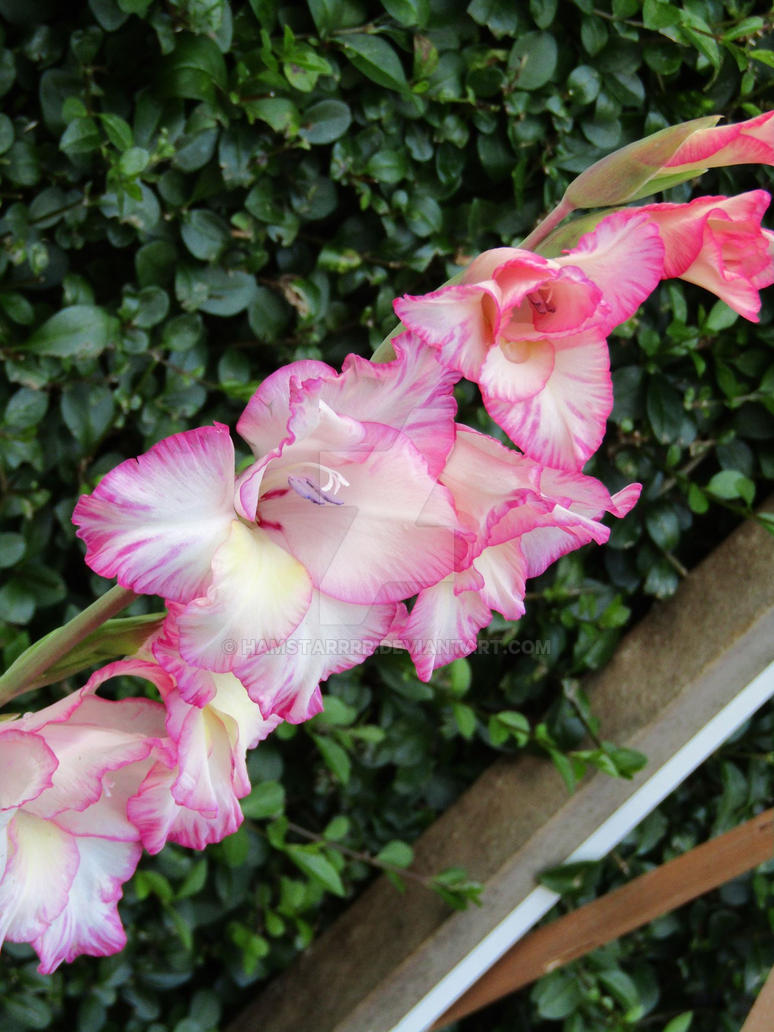 Pretty in Pink by Hamstarrrr