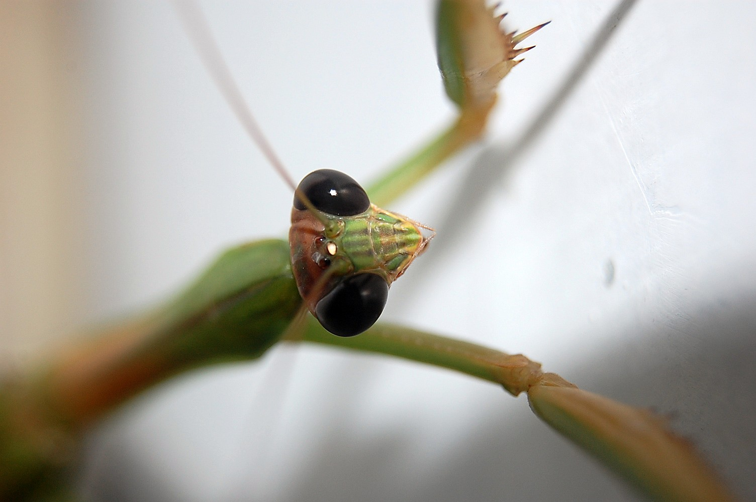 The Mantis Stare by mtsofan