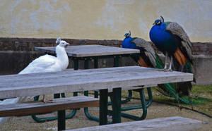 Peacock Lunch Break by mtsofan