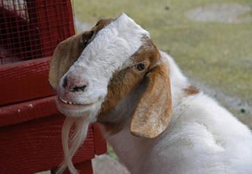 Goat Hospitality by mtsofan