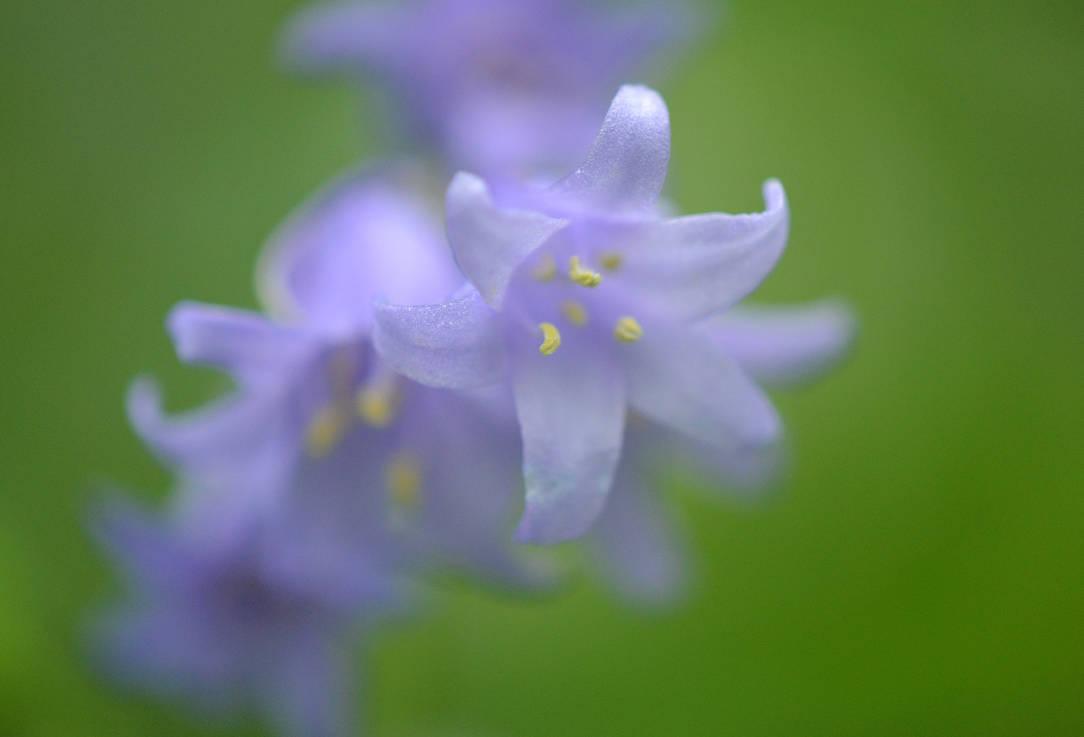 Blue May Flower by mtsofan