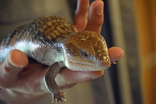 Care for a Skink?