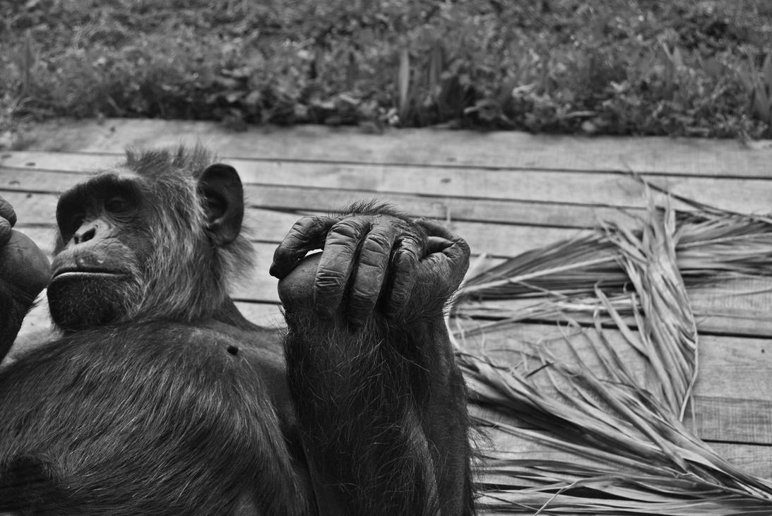 Chimpanzee feet by schwarzdrossel