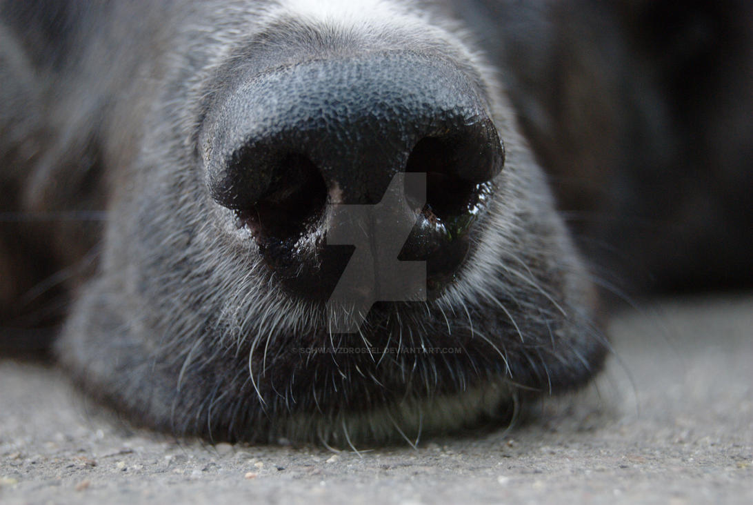 Dog nose by schwarzdrossel