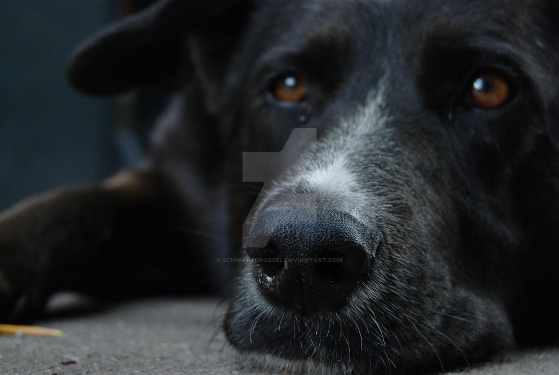 Dog face by schwarzdrossel
