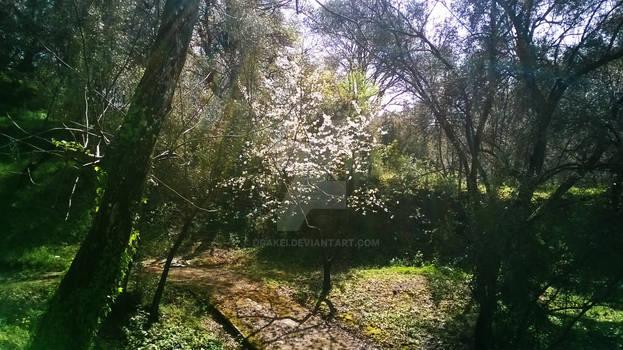 Ciliegio Nascosto / Cherry Hidden