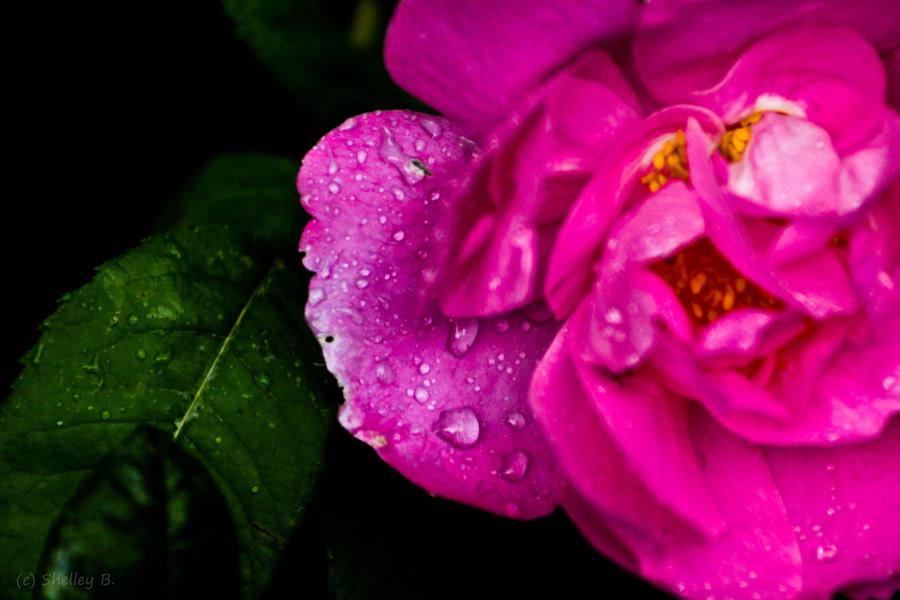 Pink Rose by dragongoddess62