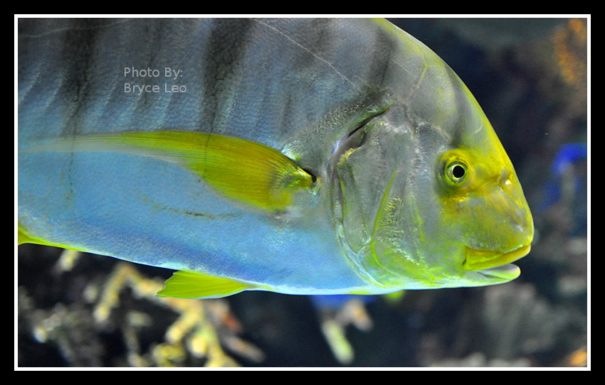 Big Yellow Fish by likwidoxigen