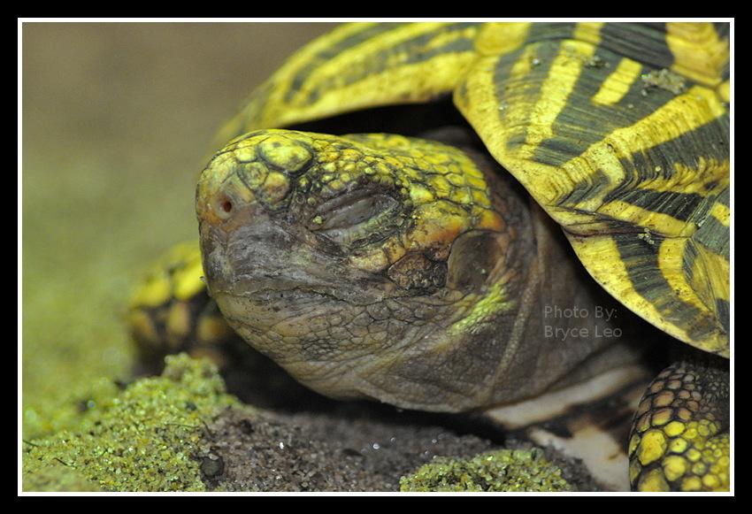 Yellow Striped Turtle by likwidoxigen