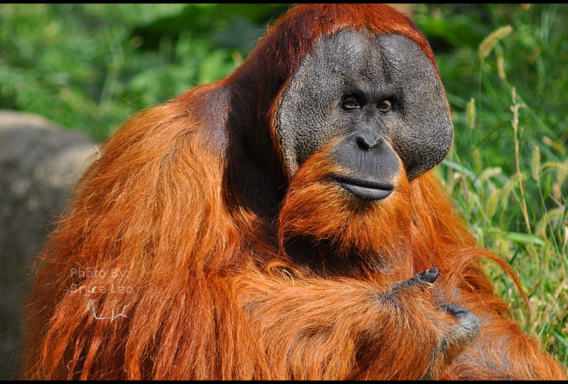 Male Orangutan 1 by likwidoxigen