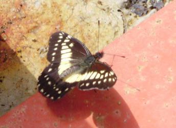 Butterfly by OpheliaRosenblut