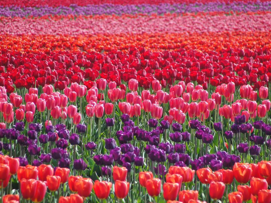 CVECE - Page 3 Tulip_field_by_kitsunekari02-d3fftka