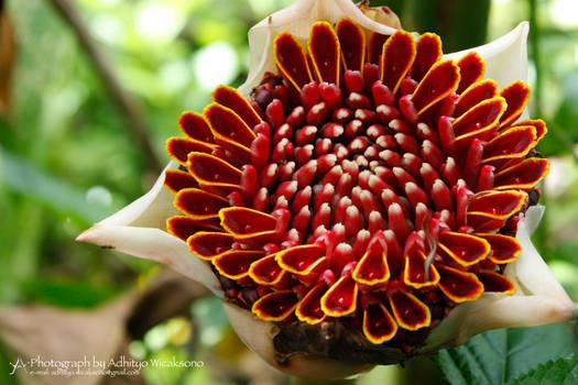 Red Zingiberaceae Flower