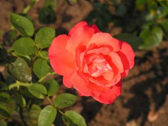 rose garden by beetfreeq