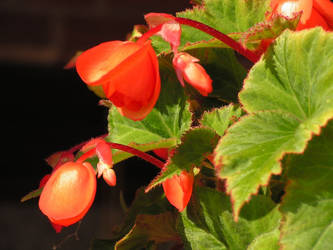 Begonia by beetfreeq