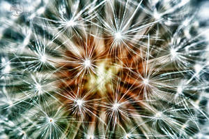 Dandelion HDR Macro 01 by Creative--Dragon
