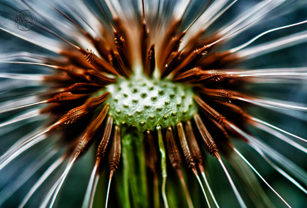 Dandelion HDR Macro 02 by Creative--Dragon