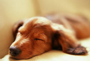 sleeping miniature dachshund by hersheyxox