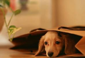 shop a miniature dachshund now by hersheyxox