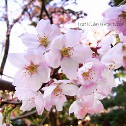 Sakura 06042010 by Lystid