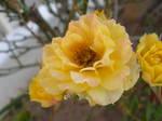 yellow rose stock