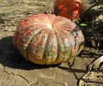 Pumpkin Stock