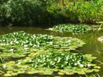 Hunrington lilly pond stock