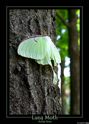 Luna Moth-Actias Luna