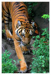 Indo-Chinese Tiger I