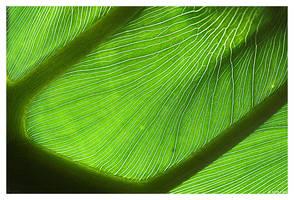Chlorophyll by ewm